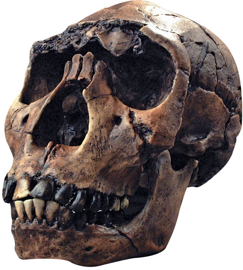 "The skull of ""Turkana Boy,"" the most complete early human skeleton, was discovered in 1984 by Leakey team member Kamoya Kimeu. Photo by Mike Hettwer"