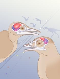 Avian brain illustration