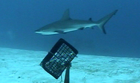 Bruv reef shark for web