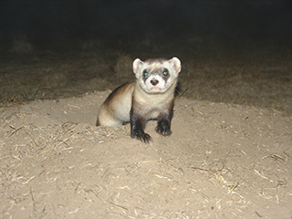 Blackfootedferret 320sized
