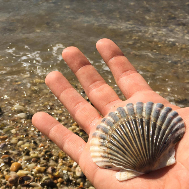 A scallop shell washed ashore in Long Island's Noyac Bay. These and other aquatic filter feeders face survival challenges in bays, estuaries and other waters due to a number of water quality issues. Credit: Paul C. Focazio