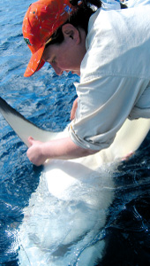 Dr. ellen pikitch tagging shark for monitoring