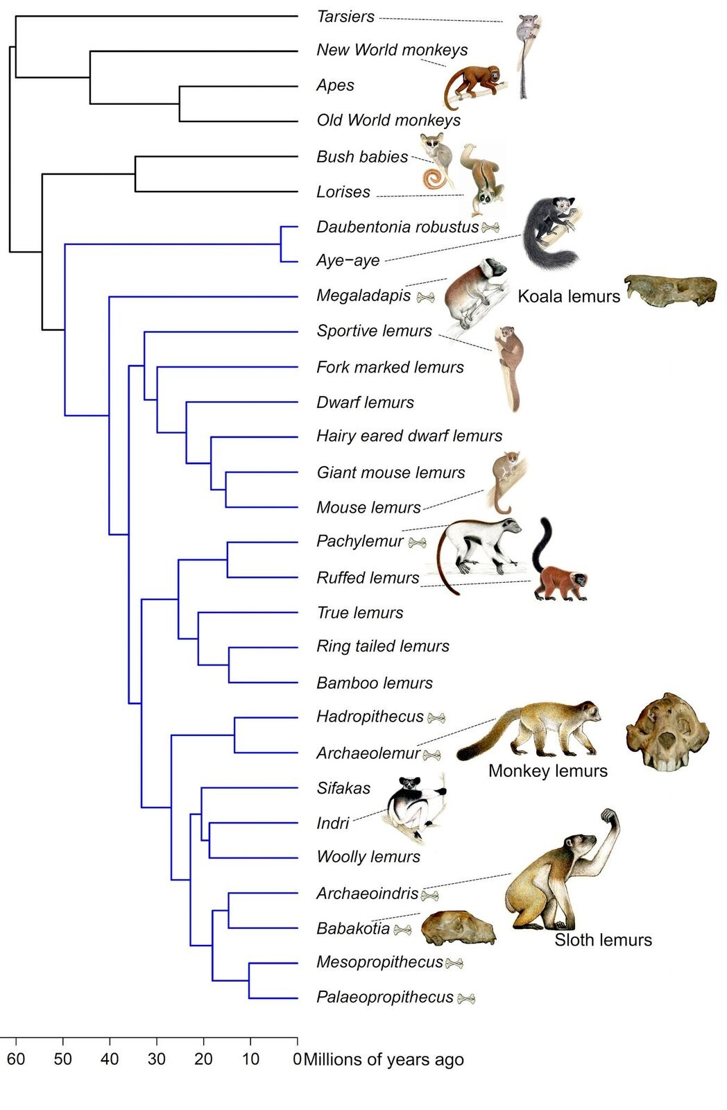 Illustration of primate evolutionary tree. Branches labelled in blue are lemurs, and names with adjacent crossbones are extinct lemur groups. Representative illustrations of primates, including reconstructions of extinct lemurs, courtesy of S. Nash, used with permission. Photographs of skulls of extinct lemurs courtesy of James Herrera.