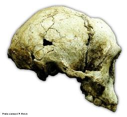 Figure 2 the liang bua 1 lb1 cranium