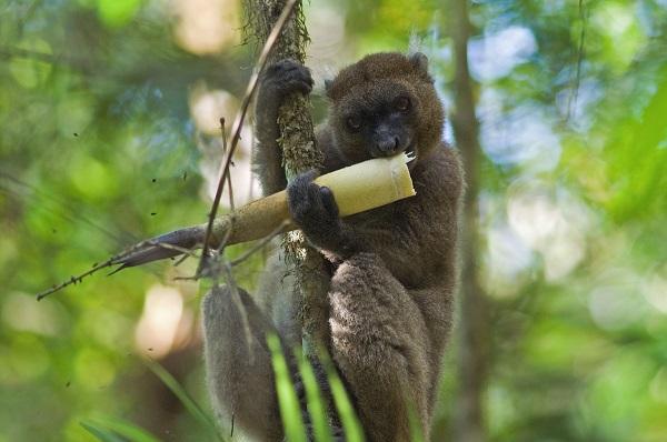 Greaterbamboolemur