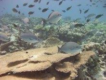 Healthy acroporid corals gove web size