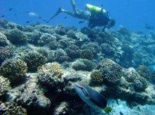 Healthy pocillopora corals merritt web size