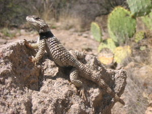 John weins crevice spiny lizard small