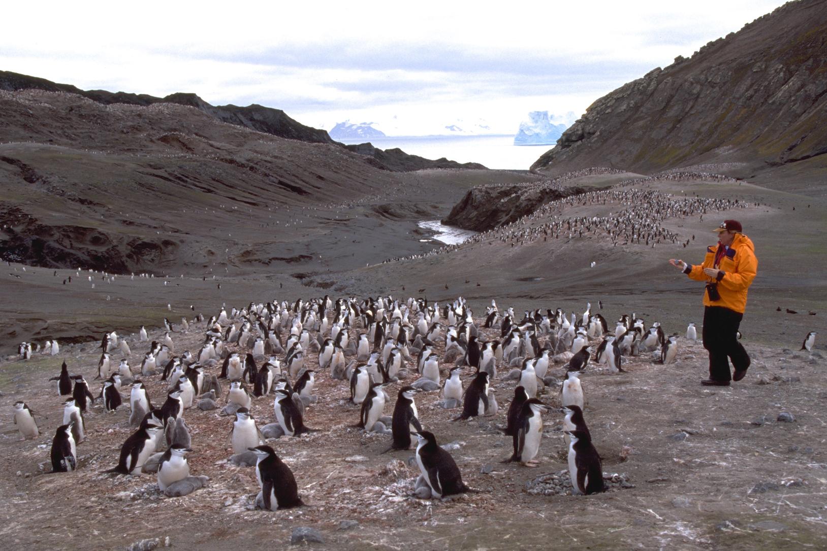 Penguin breeding 1