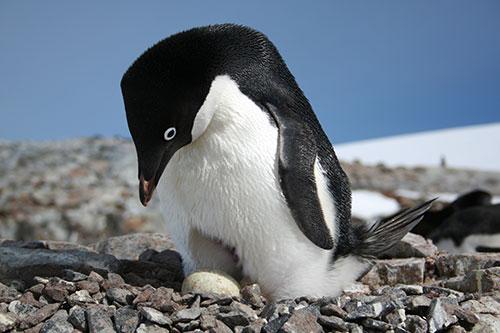 Penguinantarctica1