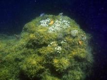 Porites compressa coral head jonathan blodgett web size