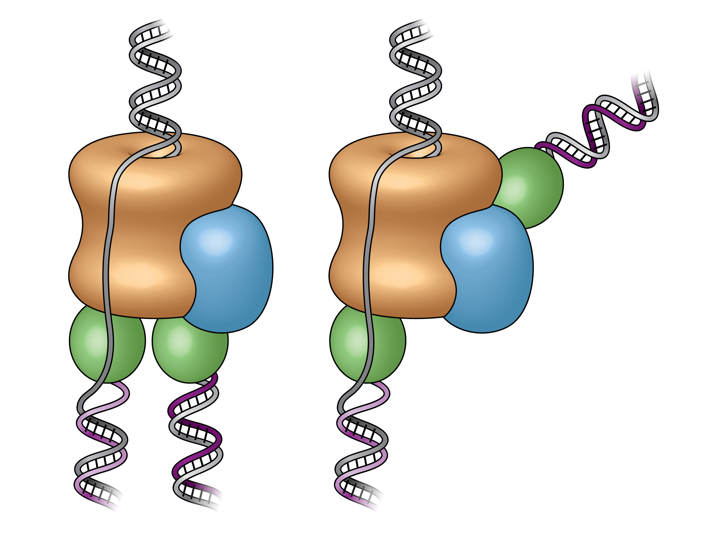 "These illustrations show the old ""textbook"" view of the replisome, left, and the new view, right, revealed by electron micrograph images from the study. Prior to this research, scientists believed the two polymerases (green) were located at the bottom (or black end) of the helicase (tan), adding complementary DNA strands to spit DNA to produce copies side by side. The new images reveal that one polymerase is located at the front end of the helicase."