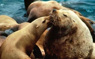 Steller sea lions noaa
