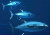 bluefin_tuna1