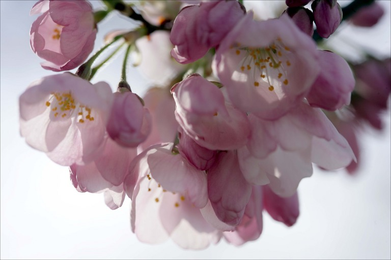 Cherry blossom cluster 1