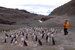 Chinstrap penguin counting