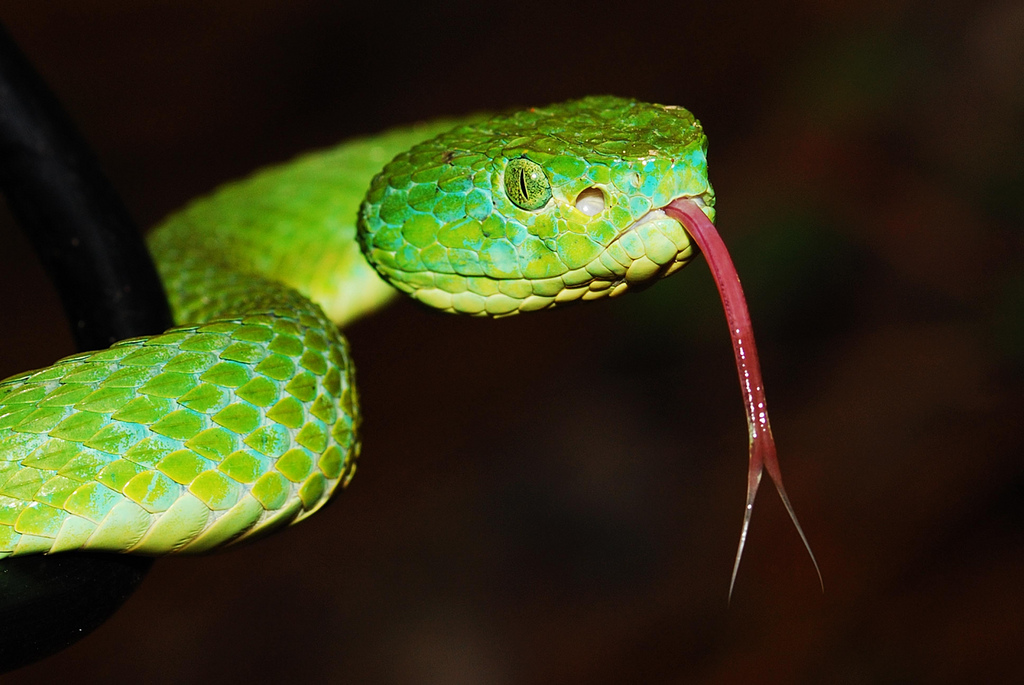 Palm viper andrew snyder