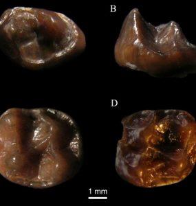 Fossil molars of simiolus minutus