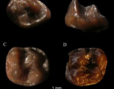 Fossil molars of simiolus minutus