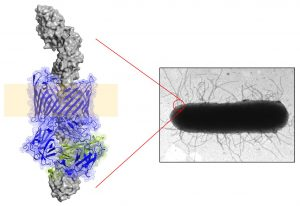 The image on the right is a standard electron microscopy view of E. coli. On the left is an image of a pilus structure using cryoelectron microscopy and atomic modeling.