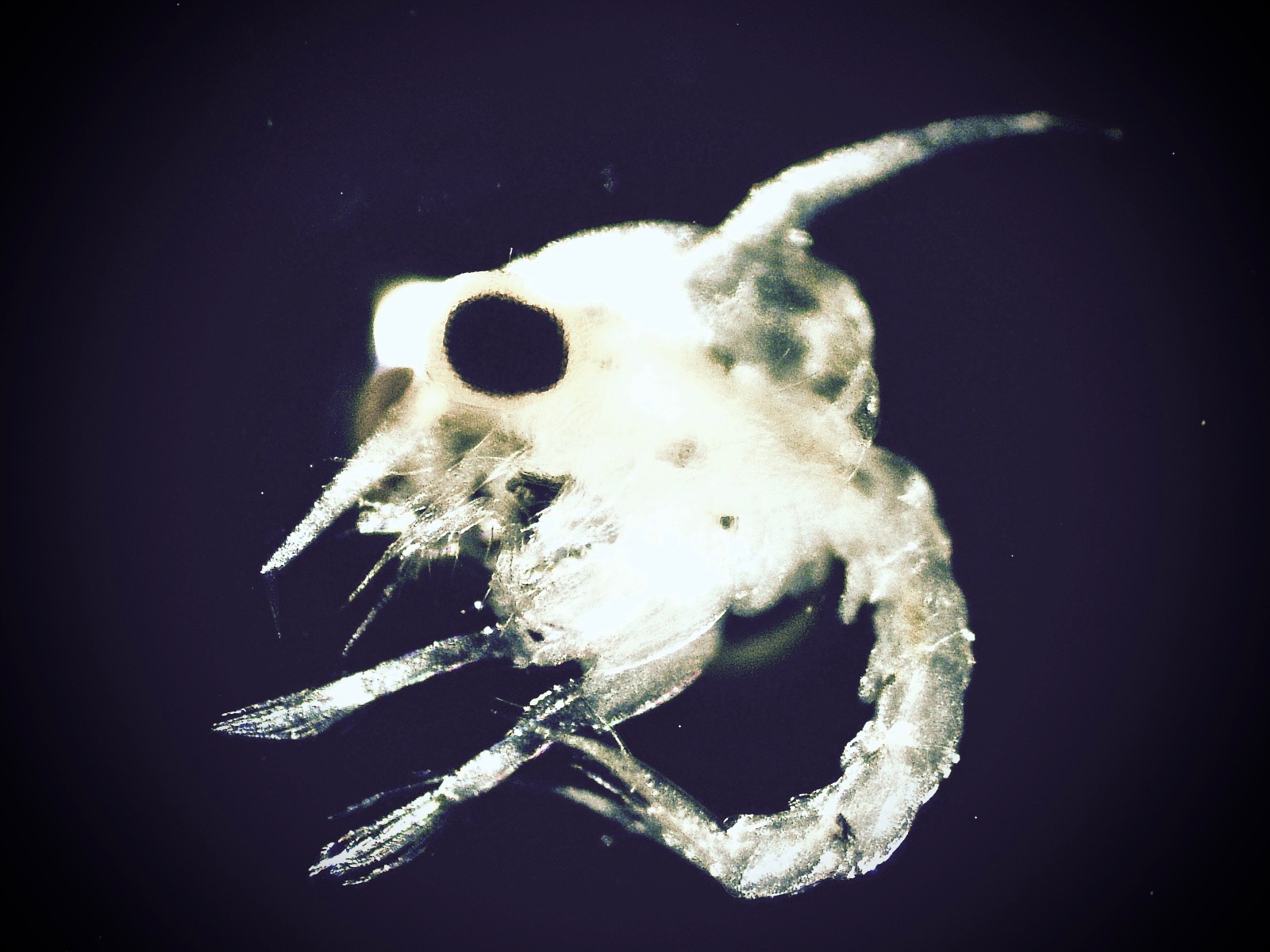 Zoea, or larvae, of the Atlantic blue crab have a distinctly different morphology than adults. They are often spawned in estuaries, where they can be exposed to low dissolved oxygen and acidified conditions (photo by Stephen Tomasetti).