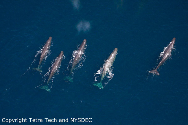 New York Bight Whale Monitoring Program
