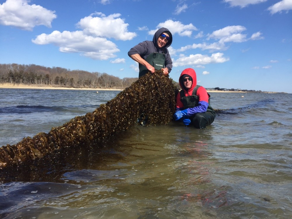 Study Points to Kelp Farming Opportunities on Long Island ...