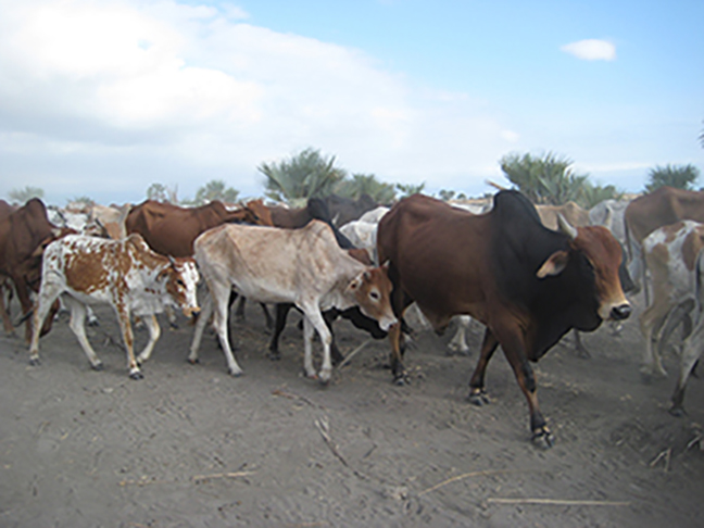 Cattle near lake manyara tanzania