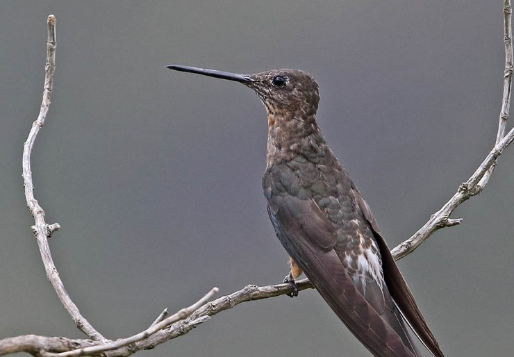 Giant hummingbrid