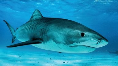 Tiger sharks benefit from large marine protected areas (Photo: Austin Gallagher