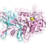 A first look at the structure of the lipin enzyme. The structure shows how two essential regions (colored blue and pink), located on opposite ends of the protein in humans, come together to form a function enzyme to help make triglycerides.