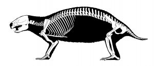 6. adalatherium skeleton illustration 1