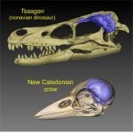 Birds and dinosaurs skulls