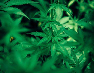 Green cannabis plant 3536257