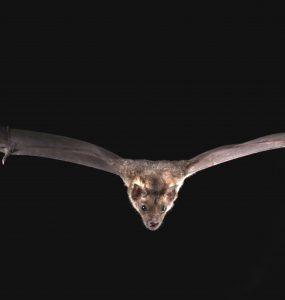 Batphyllostomus discolor pale spear nosed bat credit brock sherri 1
