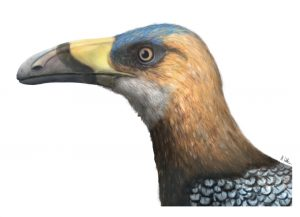 Falcatakelybird