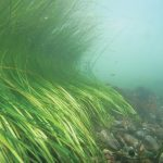 An eelgrass bed off of Fishers Island, NY. Credit: CCE Suffolk County Marine Program