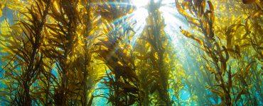 Kelp water