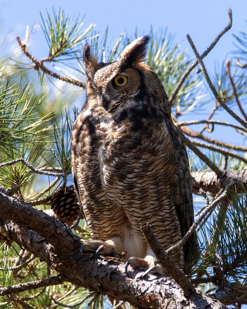 Owls female gho