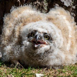 Owls fuzball