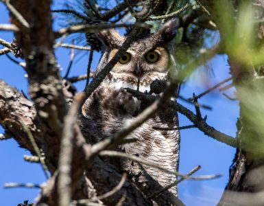 Owls male gho