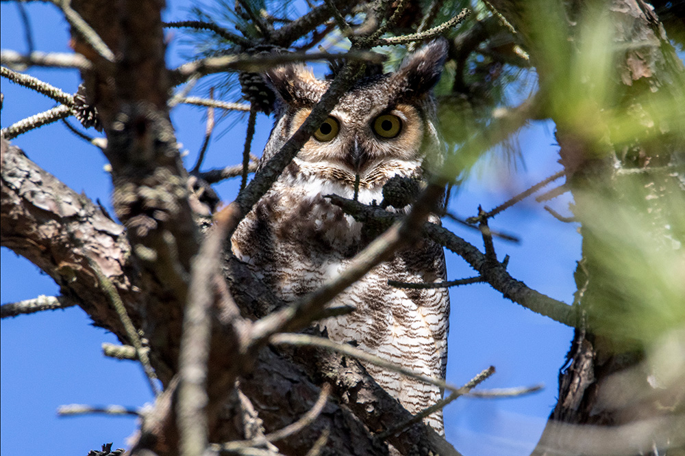 A male Great Horned Owl at the Stony Brook Southampton campus
