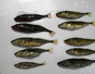 Sticklebackfishgroup