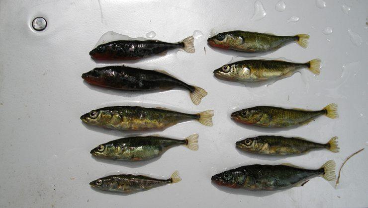 Sticklebackfishgroup internet